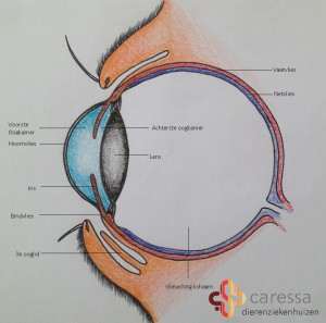 Hond-met-ontstoken-oog-anatomie-oog-branded