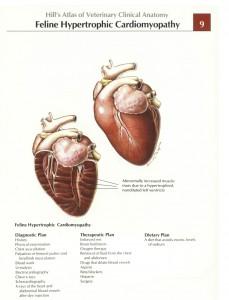 Hypertrofische-cardiomyopathie-kat