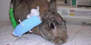 Infuus-bij-een-konijn