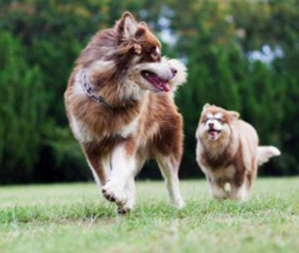 Jonge-hond-en-oude-hond-rennen