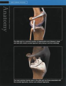 Knie-en-kruisband-normaal