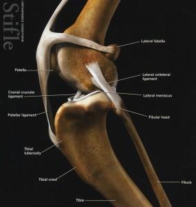 Kniegewricht-normaal-kat