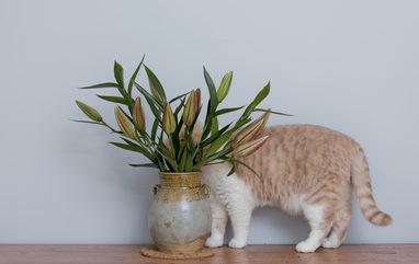 Lelie-vergiftiging-kat3