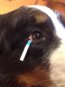 Mijn-hond-heeft-een-ontstoken-oog-schirmer-tear