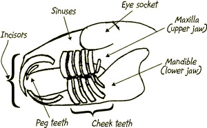 Overzicht-gebit-van-een-konijn