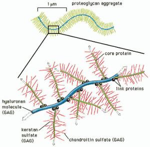 Schematische-voorstelling-van-glucosaminoglycanen
