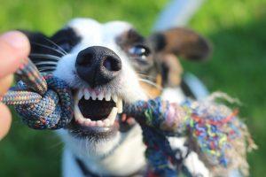 gebit-hond-afgebroken-tand-door-spelen