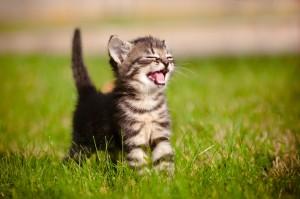 kittenvoeding