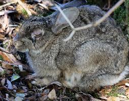 konijn-met-myxomatosis