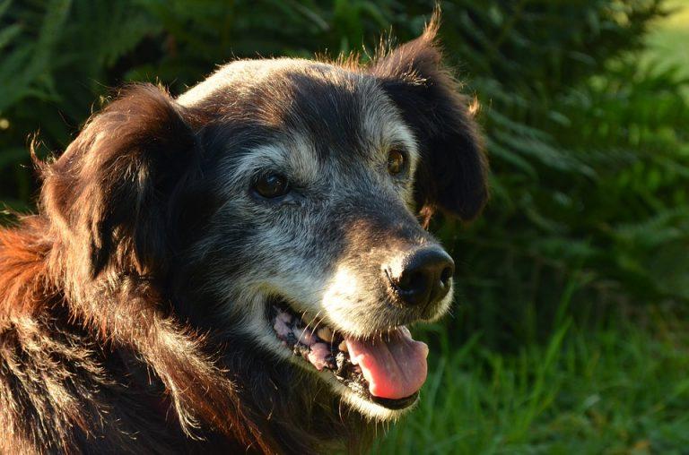 melkkliertumoren-bij-de-oude-hond