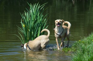 water-hond